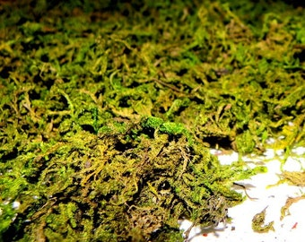 PRESERVED not living Shredded Green Mountain Sphagnum Moss for Terrariums -Vivariums-Bird Houses and More