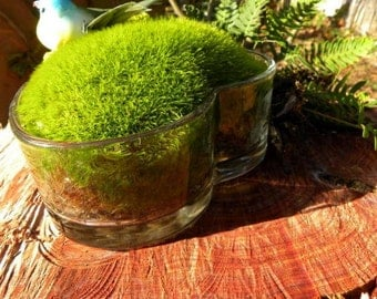 Live moss Planter-Mood Moss terrarium-Open style terrarium-Easy Care-Valentines Gift