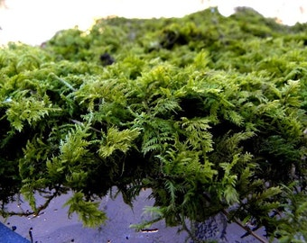 Thuidium Woodland Fern Moss-Sandwich Bag-Great for terrariums and Vivariums-Sheet Moss