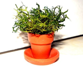 2 Tiny Mossy Terra Cotta Miniature Potted Plants with Saucers-Fairy Garden or Wedding Favor