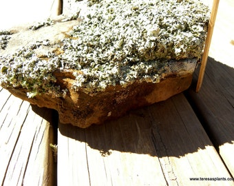 lichen covered rock - Real forest lichens-Garden stones-Large rock with assorted lichens-Always one of a kind