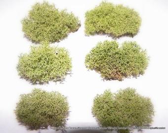 Baby Bundles of Reindeer Moss - 6 small bundles for Terrariums