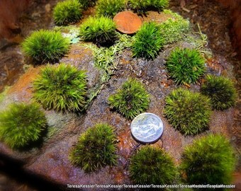 LIVE Pillow moss-10 Tiny Pillow moss Buttons of fun-Terrarium  miniature moss
