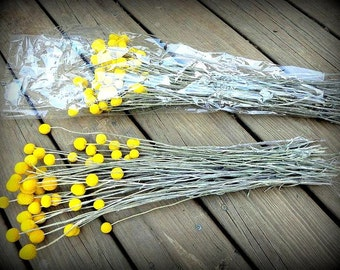 25 craspedia-dried naturally-Long stem-Craspedia-Billy Balls-Billy Buttons-Dried Yellow Wedding Flowers-Bundle of 25