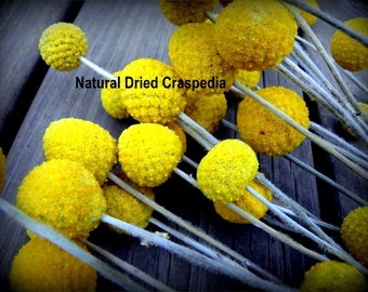 Craspedia 12 short stem -Billy Balls-Billy Buttons-Dried Yellow Wedding Flowers-Bundle of 12