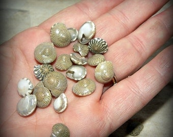 Umboniums-Miniature polished shells for terrariums-Vivariums-Weddings-Craft Projects and More 2x3 bag