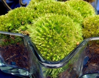 Gorgeous Live Moss -Open Terrarium-Star Glass