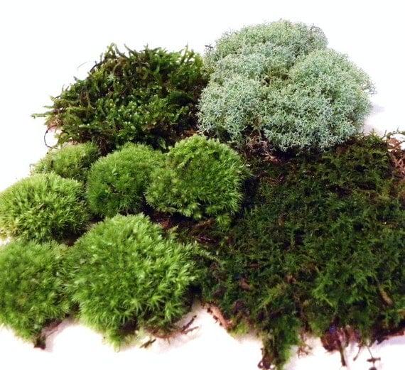 Live Terrarium Moss-Quart Bag of 4 moss varieties-Pillow moss-reindeer moss-fern moss-feather moss-Terrarium supplies