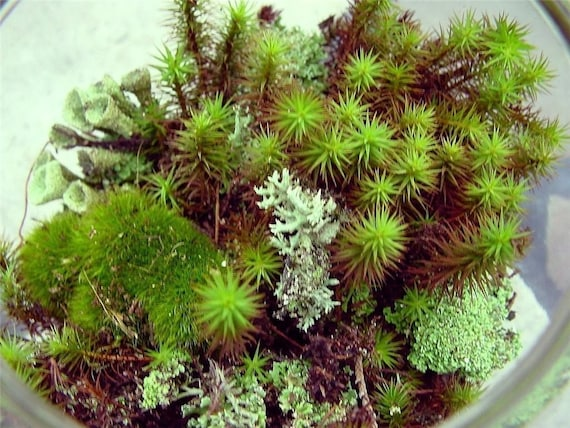 Terrarium kit-Live moss-Small DIY kit -Woodland Forest Fun-Mood moss-Fruiticose lichen mound
