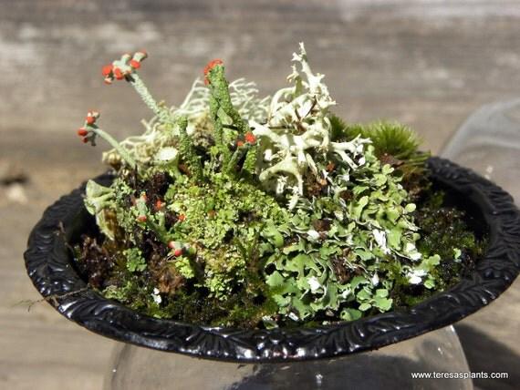 Black Upside Down Moss And Lichen Terrarium British
