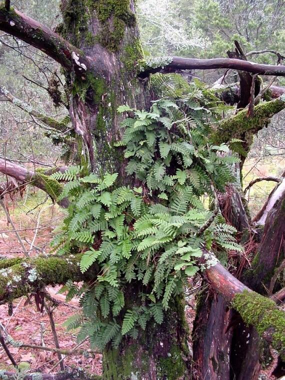 Ferns for terrariums-Resurrection Fern-Polypodium polypodioide