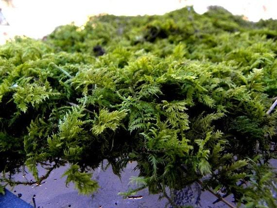 Thuidium Woodland Fern Moss-Sandwich Bag-Great for terrariums and Vivariums-Sheet Moss