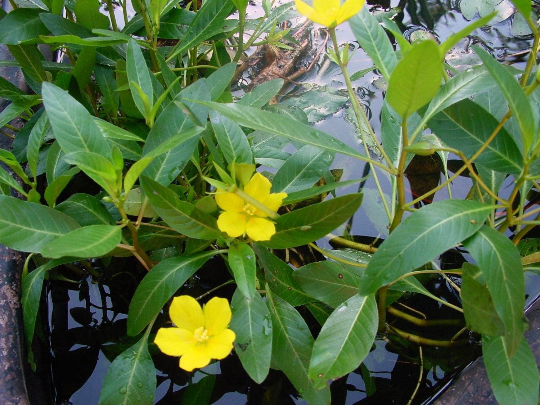 Primrose creeper 3 plants floating pond plants koi pond for Koi pond plants