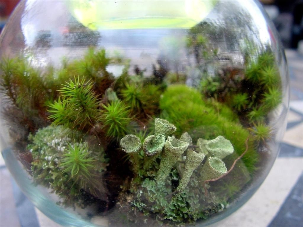 small moss terrarium kit moss lichens resurrection fern soil. Black Bedroom Furniture Sets. Home Design Ideas