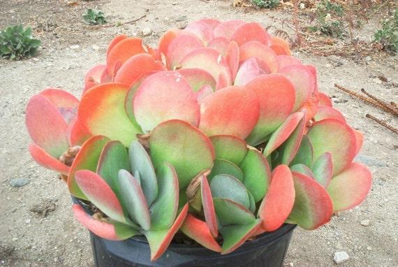 Kalanchoe luciae - Paddle Plant - Flapjacks - Succulent Plant