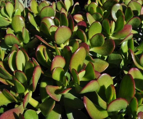 """Jade Crassula Ovata Succulent Plant 2.5"""""""