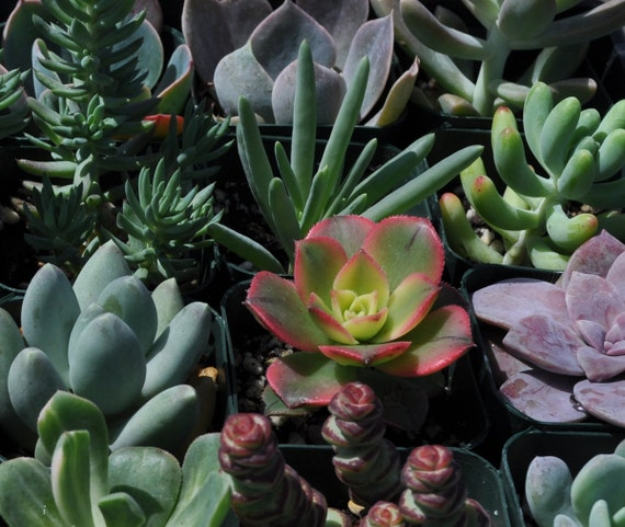 Custom Order for Kirby - 150 Succulent Plants - Down Payment