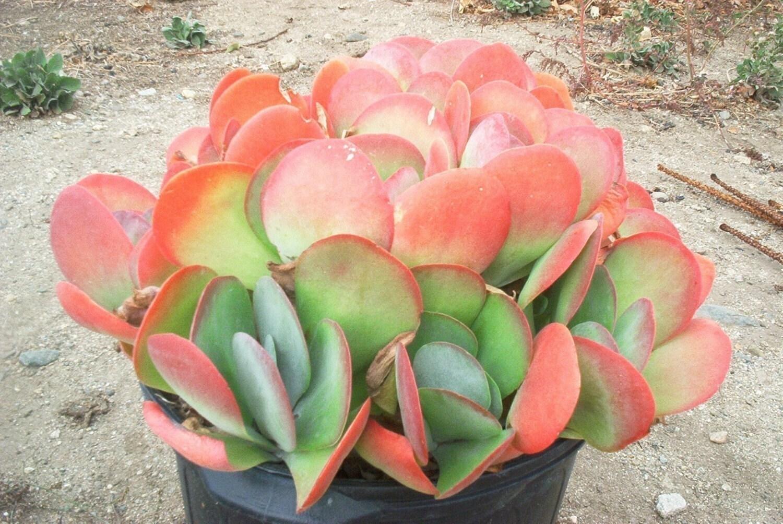 Kalanchoe Luciae Paddle Plant Flapjacks Succulent Plant