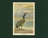 Vintage 1934 Canadian Goose Wild Bird Print