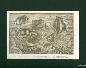 1907 Spiny-Finned Fishes Antique Print