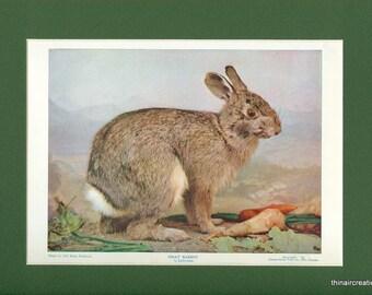 1898 Gray Rabbit Natural History Wild Animal Antique Print