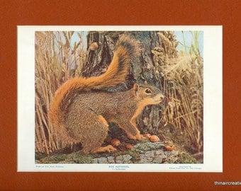 1898 Fox Squirrel Natural History Wild Animal Antique Print