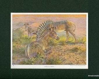 1923 Grevys Zebra Wild Animal Vintage Print
