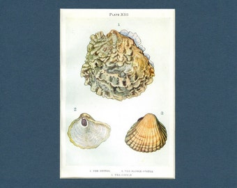 Oyster and Cockle Sea Shells - circa 1910 Antique Natural History Print