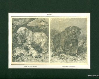 Antique 1907 Print - Polar and Grizzly Bear