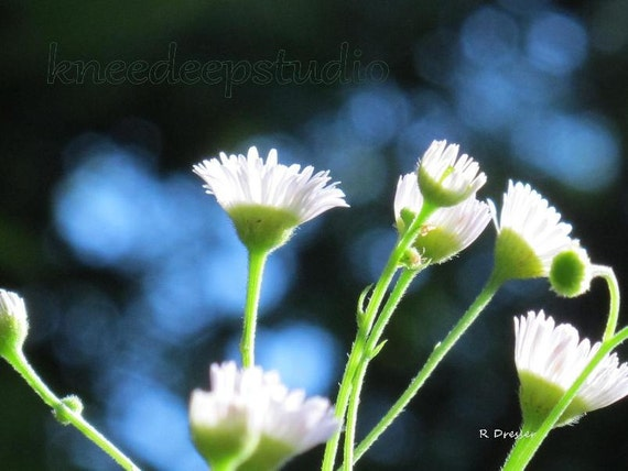 Daisies on Blue photograph 8x10 macro fine art print wall decor nature blue sky