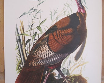 Vintage Print John James Audubon Wild Turkey Orinthological Birds of America 1940s 14 x 17