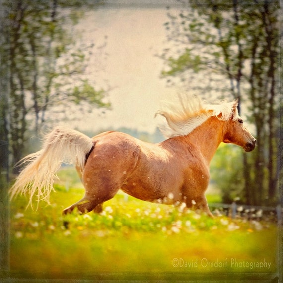 Horse Photograph - Dandelion Field Palomino - Horse running in a field - Fine Art Photograph - 8x8 print