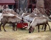 Santa's Reindeer - Holiday Cards