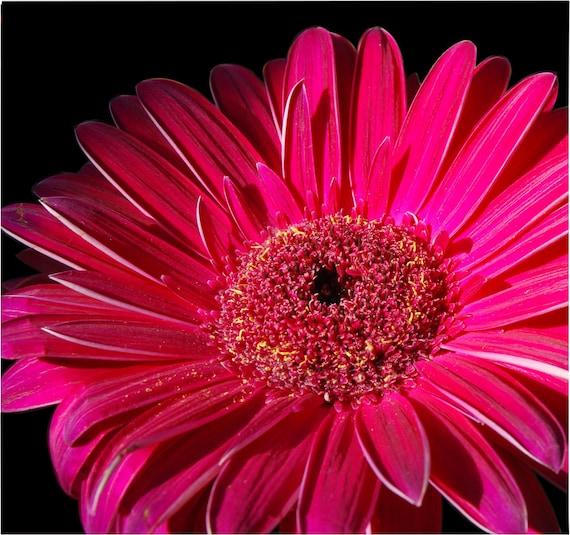 Macro Gerbera photograph print in pink, floral flower photography fine art wall art
