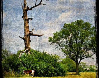 """SALE: Fine art photography limited edition print """"Nature's ying-yang"""" Trees in nature with cow"""