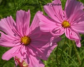 Professional Signed Digial Photograph - Bright Pink Cosmos