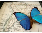 Real Blue Morpho Butterfly with South American Map Display
