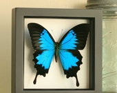 Papilio Ulysses Real Butterfly Shadowbox Display