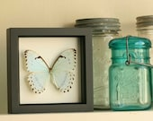 Mint Morpho Butterfly Framed Butterfly Display