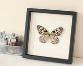Black and Cream Real Butterfly Archival Museum display