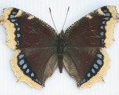 Real Framed Butterflies Nymphalis antiopa MOURNING CLOAK
