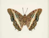 Real Framed Butterfly Shadowbox Display Charaxes brutus