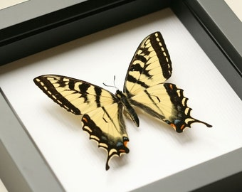 Tiger Swallowtail real framed butterfly shadowbox display