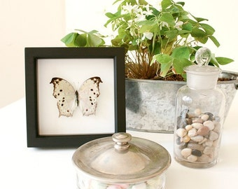 Salamis parhassus MOTHER OF PEARL Real Framed Butterfly