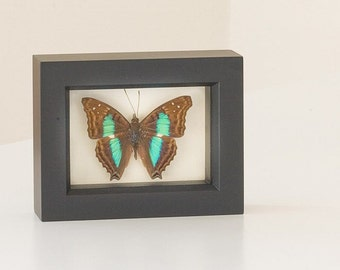 Turquoise Emperor Framed Butterfly Display