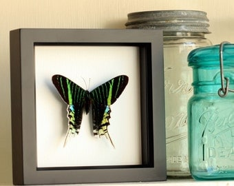 Urania Swallowtail Mounted Moth Framed Insect Display