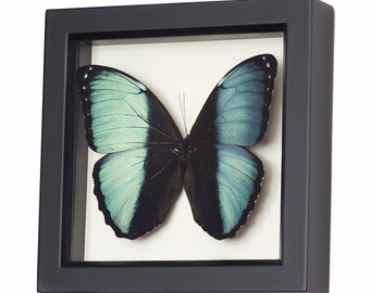 Framed Blue Banded Morpho Butterfly Shadowbox