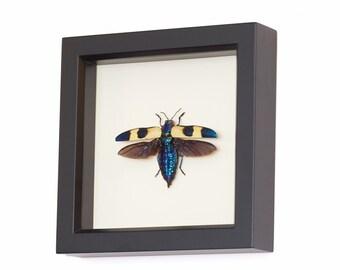 Real Framed Jewel Beetle Taxidermy