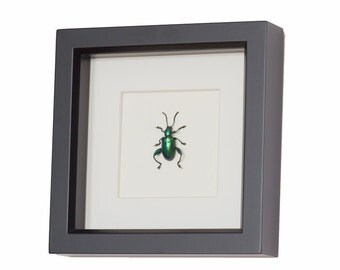 Real Framed Beetle Jewel Frog
