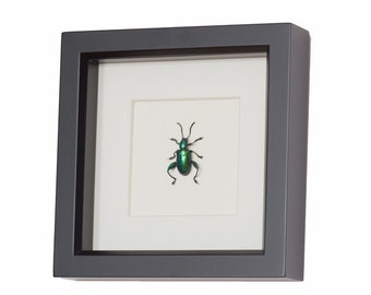 Real Framed Jewel Frog Beetle Display